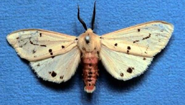 ရွက်စုံစားခူဝါ (Common Hairy Caterpillar)