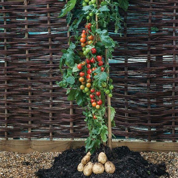 ခရမ်းချဉ် သီး တွေရော၊ အာလူး တွေပါ သီးတဲ့ TomTato အပင်