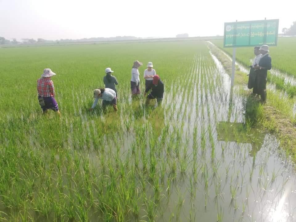 မျိုးစေ့ထုတ်လုပ်သူ တောင်သူအစုအဖွဲ့များအား ကျပ်သန်း ၅၀၀ ကျော် ထုတ်ချေးပေးထား