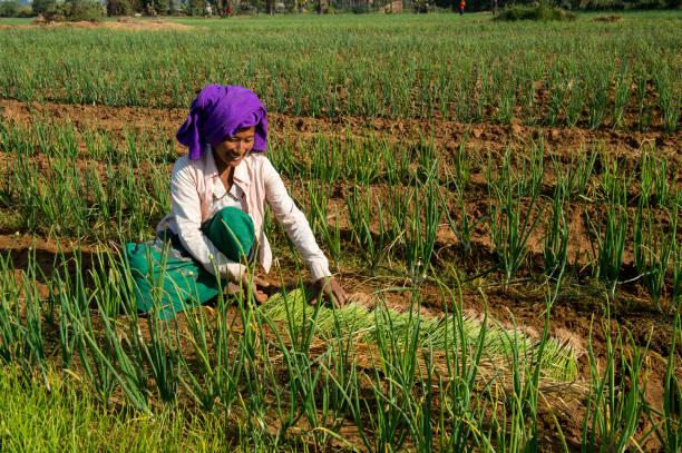 အရည်အသွေးကောင်းမွန်တဲ့ ကြက်သွန်စိုက်ပျိုးထုတ်လုပ်ရန် လိုအပ်ချက်များ