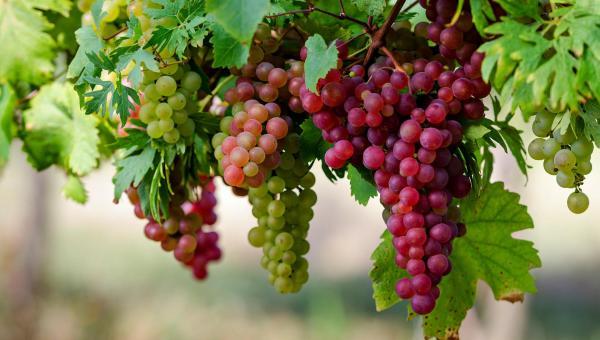 စပျစ်ပင် စိုက်ပျိုးနည်းစနစ်နှင့် သိကောင်းစရာများ