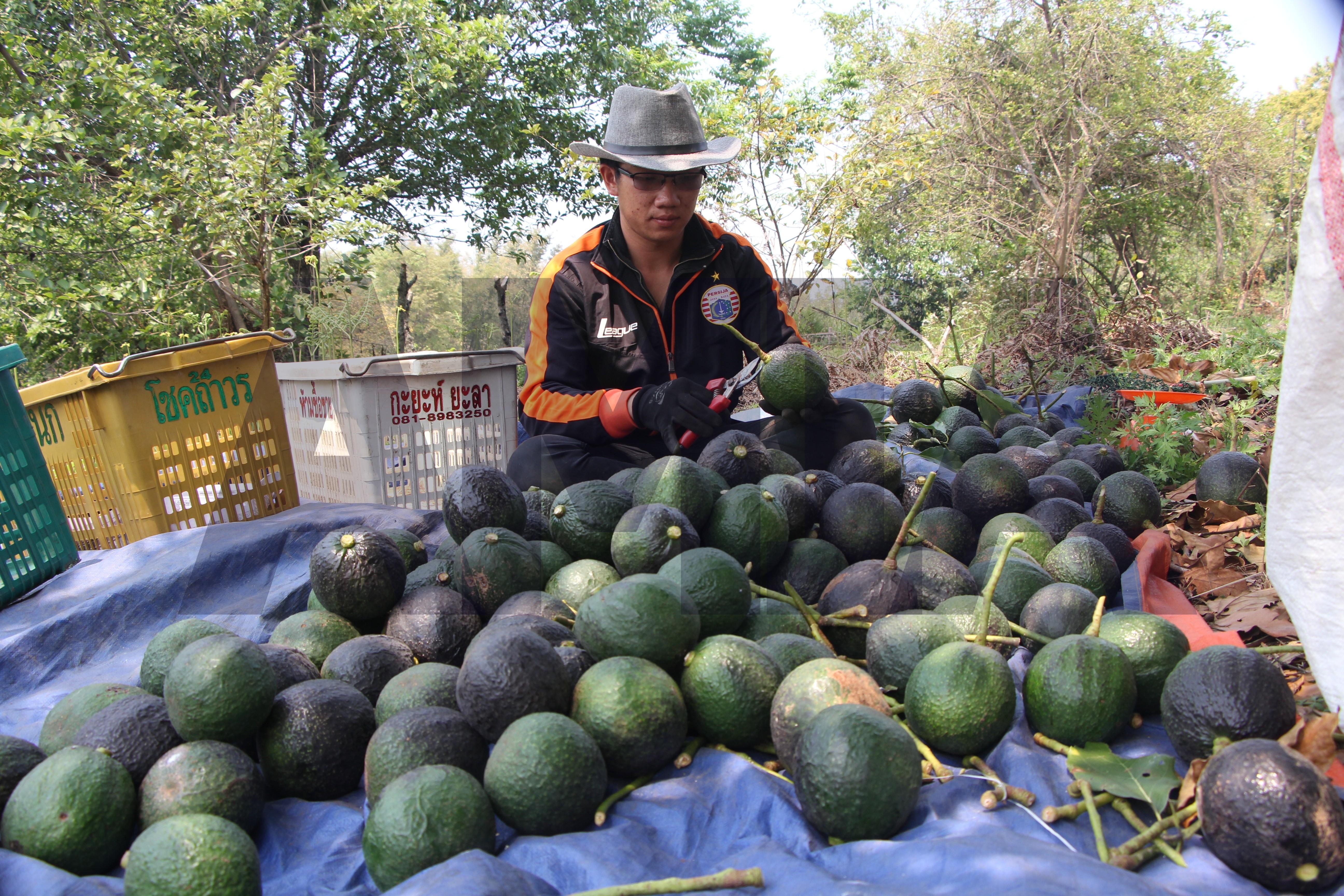 မြန်မာ့ ထောပတ်သီးကို နိုင်ငံပေါင်း လေးခုသို့ နှစ်စဉ် တင်ပို့နေ