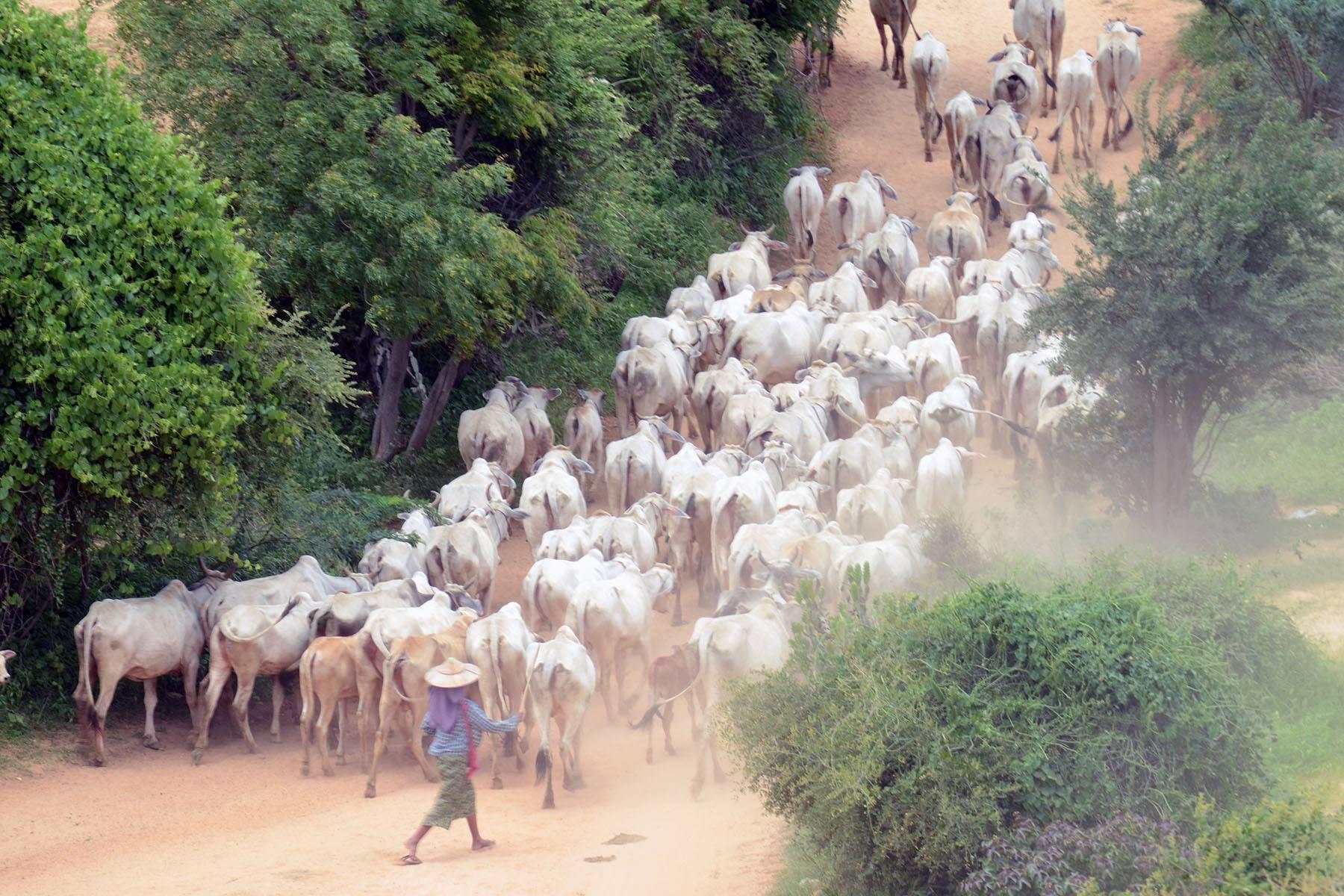 ကျေးရွာပေါင်း ၈၀၀ ကျော်မှနွားများကို ခွာနာလျှာနာရောဂါ ကာကွယ်ဆေး အခမဲ့ထိုးပေးမည်