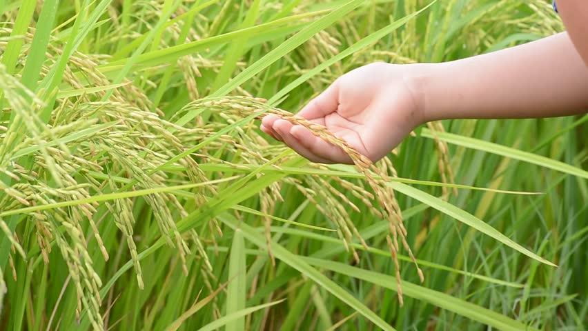 တောင်သူများ ကိုယ့်မျိုးကိုယ်ထား ခေါင်နှံမျိုးသန့်စပါး စိုက်ပျိုးထုတ်လုပ်နည်းစနစ်