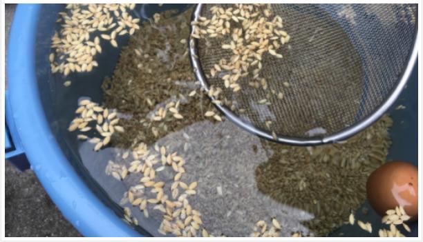 စပါးမျိုးစေ့ ဆားရည်စိမ် စိုက်ပျိုးခြင်း