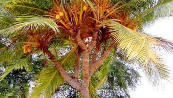 အုန်းတစ်ပင်မှ ပင်စည်/ကိုင်းများစွာ ဖြာထွက်ခြင်း