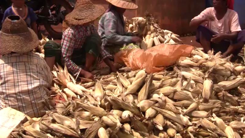 မြင်းခြံမြို့နယ်အတွင်းရှိ ပြောင်းခင်းများတွင် ငမြှောင်တောင်ပိုး ကျရောက်နေ