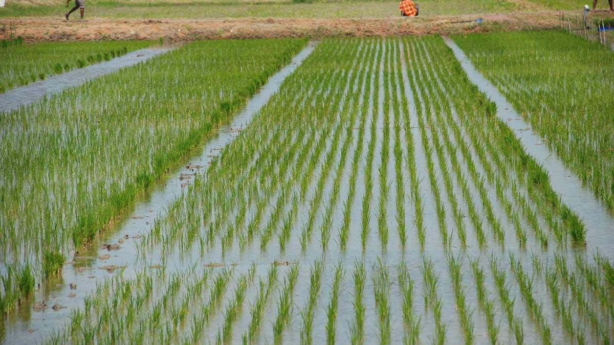 ပျဉ်းမနားမြို့နယ်ရှိမိုးစပါးမျိုးစေ့ထုတ်စိုက်ခင်းများမှ အရည်အသွေးမီ မျိုးစေ့များ ဖြန့်ဝေပေးမည်