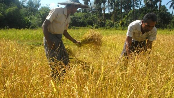 နည်းပညာသစ်နှင့် ထိတွေ့လာသော ရခိုင်ဒေသလယ်သမားများ
