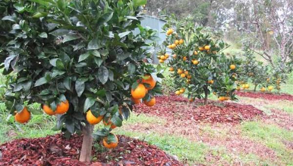 သစ်သီးပင်များအား မြေဆီလွှာဖုံးပစ္စည်းများဖြင့် ဖုံးအုပ်ပေးခြင်း