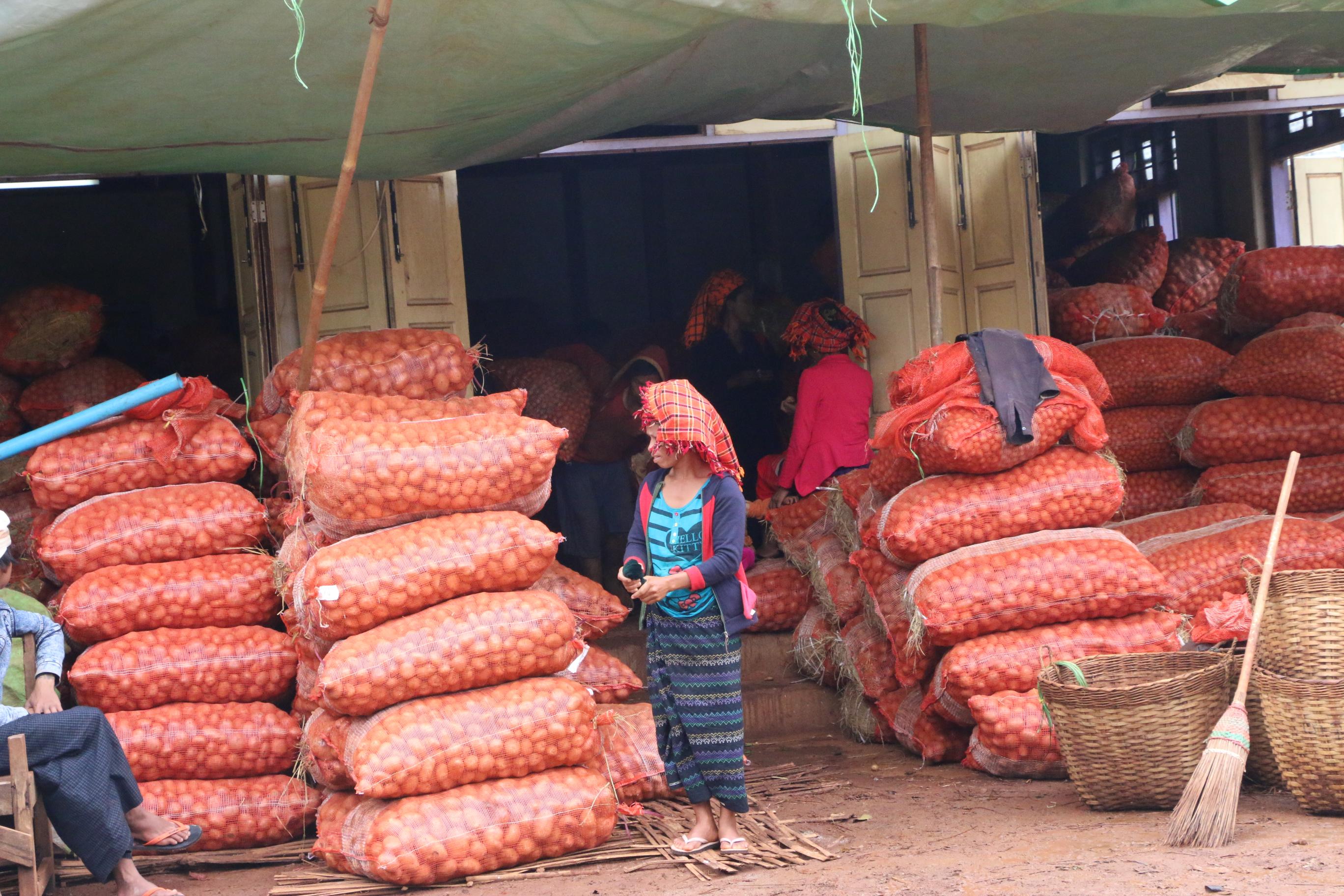 ပြည်တွင်းဈေးကွက်အတွက် အာလူးဧက ၁၀၀ ကို GAP စနစ်ဖြင့် စိုက်ပျိုးထား
