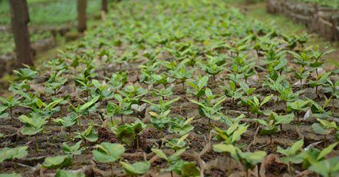 သားတက်ဆင့်ပွား စိုက်ပျိုးနည်းပညာ အသုံးပြု၍ တောင်သူများ၏ မျိုးစေ့ထုတ်လုပ်ငန်းများနှင့် အချိန် ကာလတို့ကို လျော့ချနိုင်လာမည်