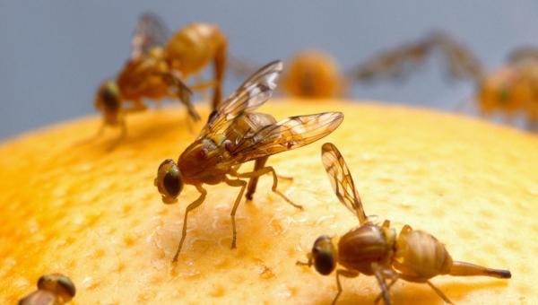ရိတ်သိမ်းချိန်လွန် ပိုးမွှားများ - သီးထိုးယင် Mango Fruitfly