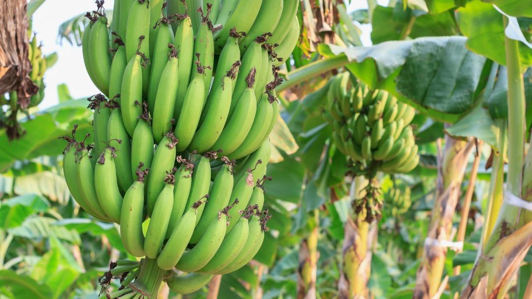 ငှက်ပျောပင်တွင် ကျရောက်တက်သော ပိုးမွှားများ