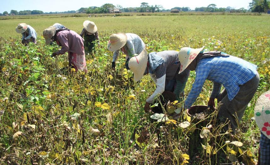 မတ်ပဲအစားထိုးသီးနှံအဖြစ် နေပြည်တော်က ကျေးရွာတချို့မှာ   ပဲပုပ်စိုက်ပျိုးလာကြ