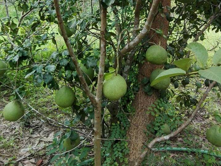 မြန်မာ့ကျွဲကောသီးကို ဝယ်ယူရန် ပြည်ပကမ်းလှမ်းမှုများရှိသော်လည်း လုံလောက်စွာ တင်ပို့နိုင်ခြင်းမရှိ