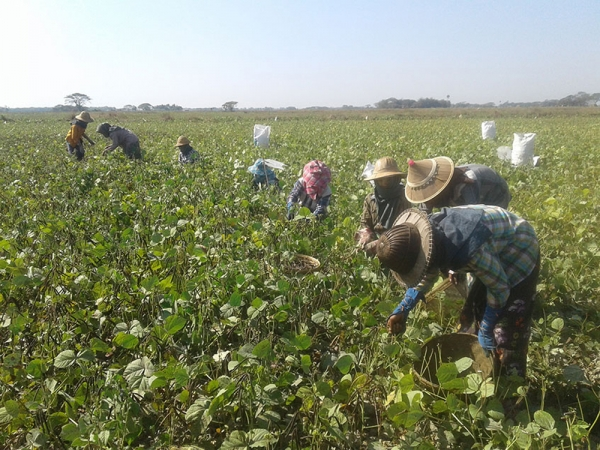 လာမည့် ပဲစိုက်ရာသီတွင် မတ်ပဲနှင့် ပဲစင်းငုံများအစား ပြည်ပဈေးကွက်ဝင် သီးနှံများ ပြောင်းလဲ စိုက်ပျိုးကြရန် တောင်သူများထံ အသိပေးချက်များ ထုတ်ပြန်ထား