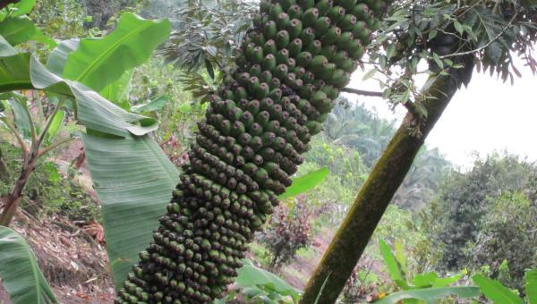 အသီးတစ်ထောင်/အဖီးတစ်ရာ ငှက်ပျောခိုင်