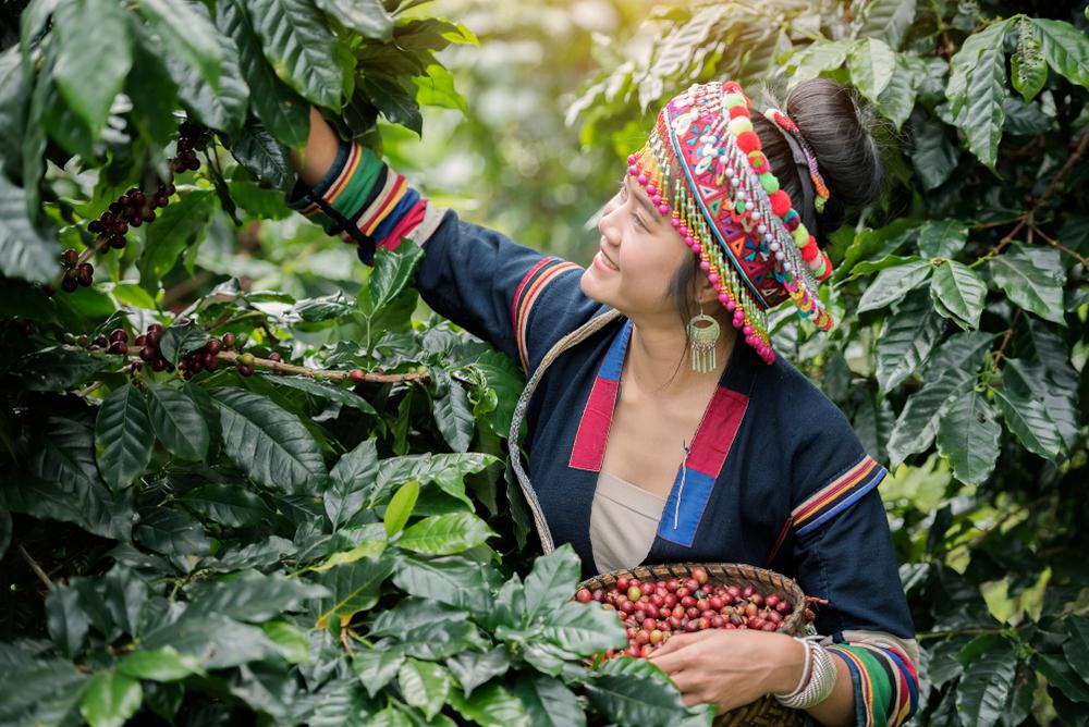 မြန်မာ့ကော်ဖီ တန်ချိန် (၅၀၀) တင်ပို့သွားမည်