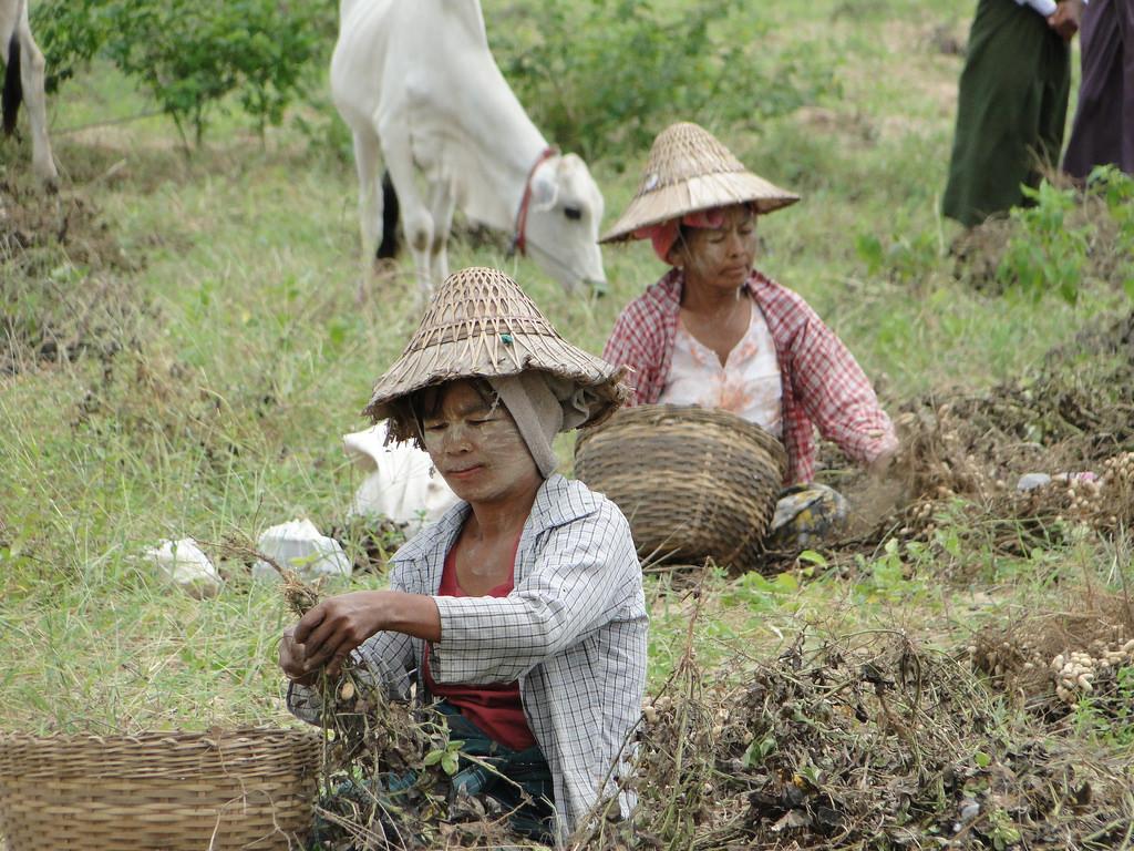မြေပဲစိုက်တောင်သူများမှ စံပြစိုက်ကွက်အား ကန်ထရိုက်စနစ်ဖြင့် စိုက်ပျိုးလိုပါက ဆီစက်ပိုင်ရှင်များ အသင်းသို့ ဆက်သွယ်အကူအညီ တောင်းခံနိုင်