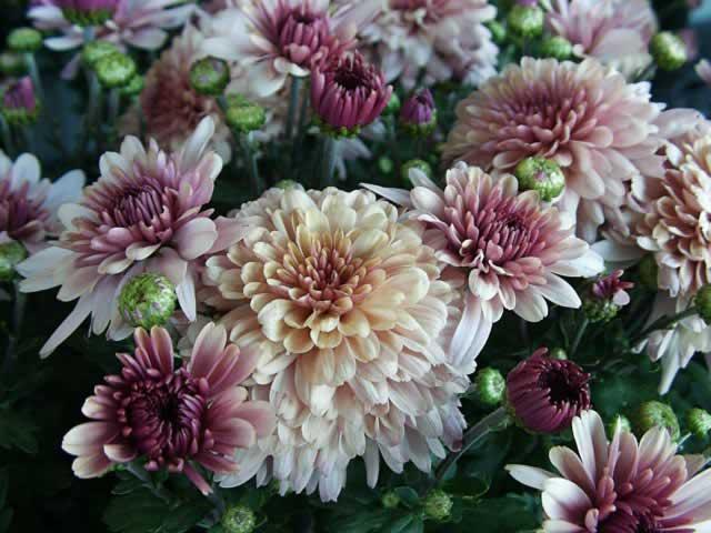 ဂန္ဓမာပန်းစိုက်ပျိုးနည်း ( Cultivation of Chrysanthemun)