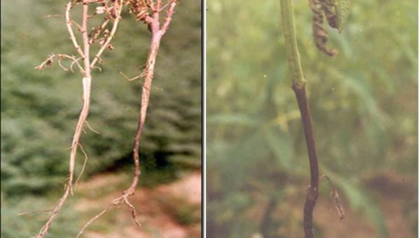 နှမ်းရိုးမည်း ရောဂါ (Black Stem or Charcoal Rot)