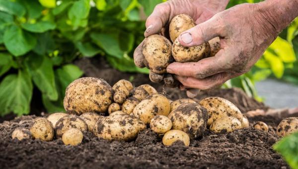 အာလူးနှောင်းပင်ကျနာ (လောင်းမည်း) ရောဂါ (Late Blight of Potato)