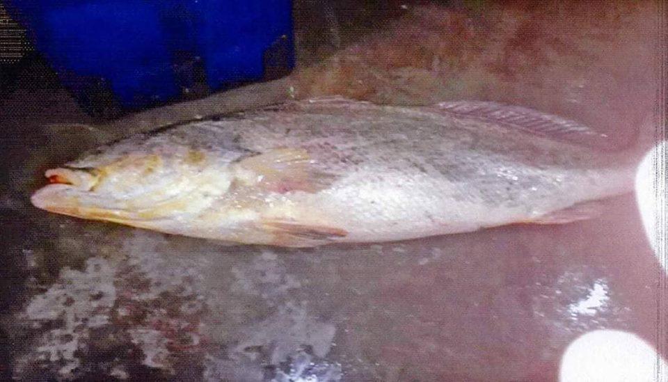 ချောင်းဆုံမြို့နယ်တွင် တန်ဖိုးမြင့် ကသမျှင်ငါးအမတစ်ကောင် ဖမ်းဆီးရမိ