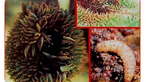 ဒူးရင်းသီး သီးထိုးပိုး (Durain Fruit Borer )