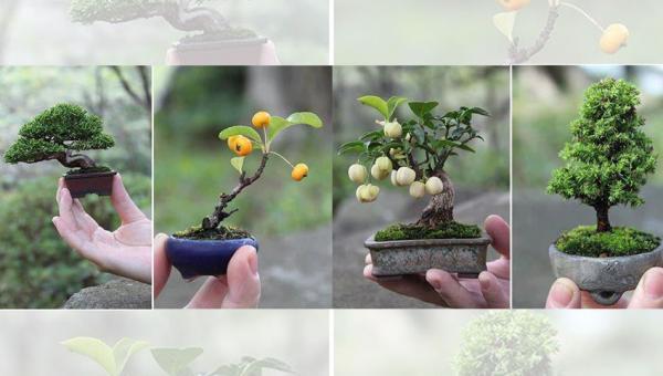 ငြိမ်းချမ်းမှု၊ တည်ငြိမ်မှုနဲ့ သဟဇာတဖြစ်စေတယ်လို့ လူတွေ ယုံကြည်ကြတဲ့ ဘွန်ဆိုင်း (Bonsai) ပင်